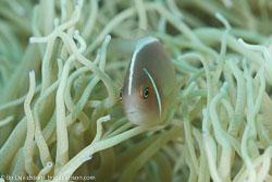 BD-110314-Puerto-Galera-3400-Amphiprion-perideraion.-Bleeker.-1855-[Pink-anemonefish.-Vitpannad-clownfisk].jpg